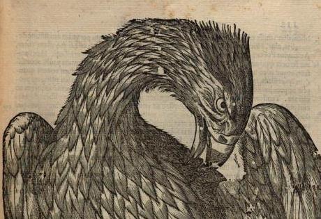 Der Kopf des Weissadlers